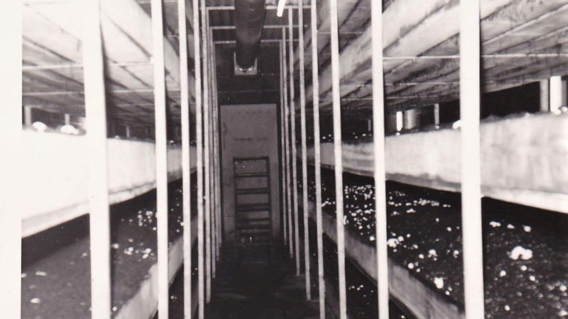 Inkijk nieuwe champignon cel in Hegelsom (1971)